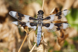 Battered Male Eight-Spotted Skimmer, Freeway Ponds Park, Albany, Oregon, USA Photographic Print by Rick A. Brown