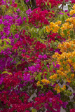 Bougainvillea Flowers, Princess Cays, Eleuthera, Bahamas Photographic Print by Lisa S. Engelbrecht