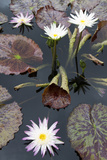 Lily Pond with Water Lilies, New Orleans Botanical Garden, New Orleans, Louisiana, USA Photographic Print by Jamie & Judy Wild