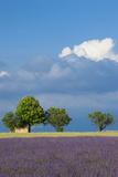 Farmer's Hut, Lavender Field Near Valensole, Provence, France Photographic Print by Brian Jannsen
