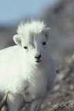 Dall Sheep Wildlife, Ewe and Lamb, Denali National Park, Alaska, USA Photographic Print by Gerry Reynolds