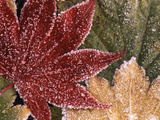 Frosted Maple Leaves, Oregon, USA Photographic Print by Stuart Westmorland