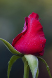 Rose with Dew Drops, Savannah, Georgia, USA Photographic Print by Joanne Wells