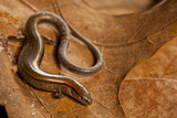 Close-Up of Ground Skink Snake, North Carolina, USA Photographic Print