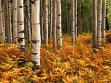 Stand of Quaking Aspen Tree, Gunnison National Forest, Colorado, USA Photographic Print by Adam Jones
