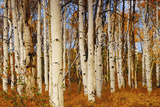 Aspens in Autumn, Zion National Park, Utah, USA Photographic Print by Michel Hersen