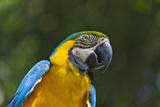 Tropical Bird, Parrot, Honduras Stampa fotografica di Keren Su