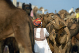 Two Camels Fight at the Pushkar Camel Fair, Rajasthan, Pushkar, India Photographic Print by David Noyes