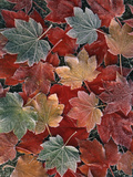 View of Autumn Maple Leaves, Oregon, USA Photographic Print by Stuart Westmorland