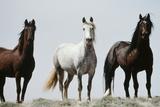 Wild Stallion Horses  Alkali Creek  Cyclone Rim  Continental Divide  Wyoming  USA