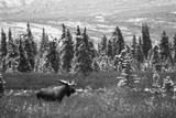 Bull Moose Wildlife, Denali National Park and Preserve, Alaska, USA Photographic Print by Hugh Rose