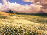 Oxeye Daises, Oak Tree, Palouse, Washington State, USA Photographic Print by Stuart Westmorland