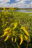 Goldenrod at Edge of Marsh in Brazos Bend State Park Near Houston, Texas, USA Photographic Print by Larry Ditto