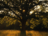 White Oak Tree, Great Smoky Mountains National Park, Cades Cove, Tennessee, USA Photographic Print by Adam Jones