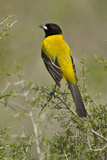 Audubon's Oriole Bird in Habitat, Texas, USA Photographic Print by Larry Ditto