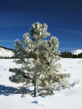 Jeffrey Pine Covered with Snow, Inyo National Forest, California, USA Photographic Print by Adam Jones