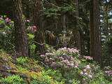 Rhododendrons and Trees, Washington State, USA Photographic Print by Randy Green