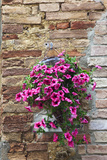 Flowers Hanging on Wall, Pienza, Tuscany, Italy Photographic Print by Terry Eggers