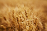 Golden Harvest Wheat, Palouse Country, Washington, USA Photographic Print by Terry Eggers