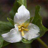 Trillium Flower, Mount Baker-Snoqualmie National Forest, Washington, USA Photographic Print by Jamie & Judy Wild
