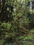 View of Rainforest, Olympic National Park, Washington State, USA Photographic Print by Paul Souders