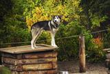 Alaskan Husky Dog, Denali National Park, Alaska, USA Photographic Print by Michel Hersen