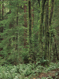 Rainforest, Olympic Peninsula, Olympic National Park, Washington State, USA Photographic Print by Walter Bibikow