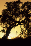 Oak Tree, Sunset, Pinnacles National Monument, California, USA Photographic Print by Gerry Reynolds