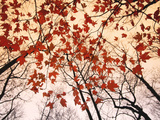 Red Maple and Autumn Sky Poster van Raymond Gehman