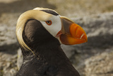 Tufted Puffin Bird, Oregon Coast Aquarium, Newport, Oregon, USA Photographic Print by Rick A. Brown