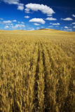 Farm Fields of Golden Harvest Wheat, Palouse Country, Washington, USA Photographic Print by Terry Eggers