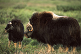 Musk Ox Bull Wildlife, Arctic National Wildlife Refuge, Alaska, USA Photographic Print by Hugh Rose