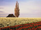 Tulip Field with Barn and Poplar Tree, Skagit Valley, Washington, USA Photographic Print by Charles Crust