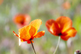 Fire Poppy Flowers, Palouse Country, Washington, USA Photographic Print by Terry Eggers