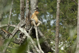 Mangrove Forest, Wild Male Proboscis Monkey, Brunei, Borneo Photographic Print by Cindy Miller Hopkins
