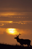 Sunset, Tule Elk Wildlife, Point Reyes National Seashore, California, USA Photographic Print by Gerry Reynolds