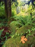 View of Hoh Rainforest, Olympic Peninsula, Olympic National Park, Washington State, USA Fotodruck von Michele Westmorland