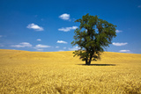 Lone Tree in Harvest Wheat, Palouse Country, Washington, USA Photographic Print by Terry Eggers
