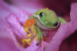 Green Frog on a Hibiscus Bloom, Savannah, Georgia, USA Photographic Print by Joanne Wells