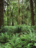 Quinault Rainforest in Olympic National Park, Washington State, USA Photographic Print by Rob Tilley