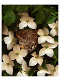 Bird nest kousa dogwood Giclee-tryk i høj kvalitet
