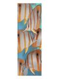 Melinda Bradshaw - Copper Banded Butterfly - Birinci Sınıf Giclee Baskı