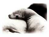 Baby Sea Lion Wydruk giclee premium autor Steve Munch
