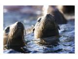 Afternoon Sea Lion Swim Giclee-tryk i høj kvalitet af Steve Munch