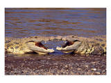 Kissing Crocs Giclee-tryk i høj kvalitet