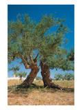 Olive Trees Djerba Tunisia Giclee-tryk i høj kvalitet