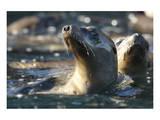 Sea Lion Swim Giclee-tryk i høj kvalitet af Steve Munch