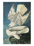 Southern Caracara Premium Giclee Print by John James Audubon