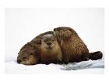 River Otters Giclee-tryk i høj kvalitet