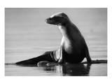 Sunbathing Sea Lion Giclee-tryk i høj kvalitet af Steve Munch